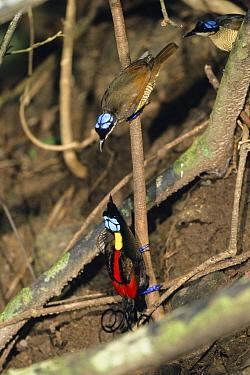 Wilson's Bird-of-paradise (Cicinnurus respublica) male displaying to females, Batanta Island, Indonesia  -  Konrad Wothe