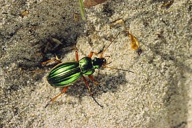 Golden Ground Beetle (Carabus auratus), Europe  -  Konrad Wothe