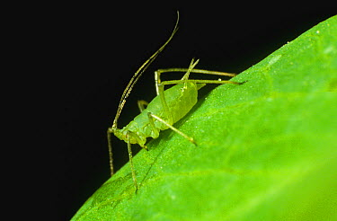 Pea Aphid (Acyrthosiphon pisum) on Chinese Snow Pea (Pisum sativum) leaf  -  Nigel Cattlin/ FLPA
