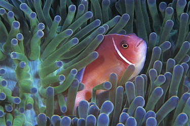 Pink Anemonefish (Amphiprion perideraion) in Magnificent Sea Anemone (Heteractis magnifica) host tentacles, Celebes Sea  -  Hiroya Minakuchi
