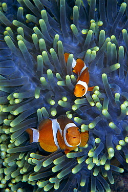 Clown Anemonefish (Amphiprion ocellaris) pair in sea anemone tentacles, Celebes Sea  -  Hiroya Minakuchi