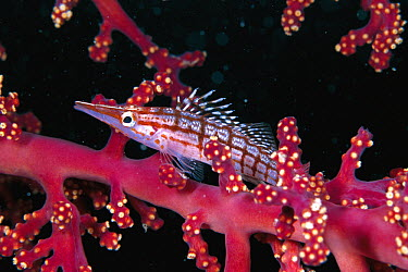 Longnose Hawkfish (Oxycirrhites typus) camouflaged on sea fan, Celebes Sea  -  Hiroya Minakuchi
