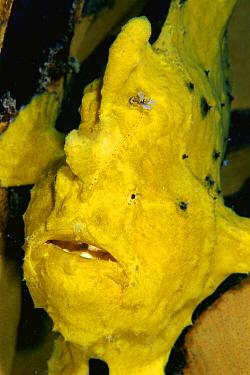 Frogfish (Antennarius sp) showing lure used to attract prey, Celebes Sea  -  Hiroya Minakuchi