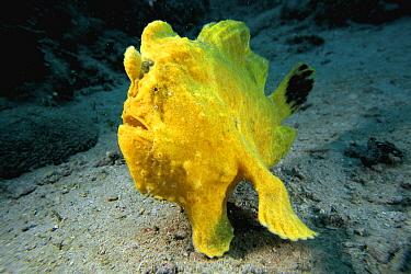 Frogfish (Antennarius sp) on ocean floor, Celebes Sea  -  Hiroya Minakuchi