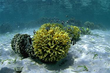Threeband Demoiselle (Chrysiptera tricincta) fish swimming around coral, Celebes Sea  -  Hiroya Minakuchi