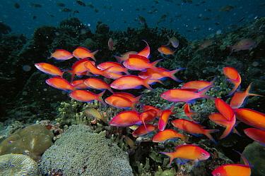 Redfin Anthias (Pseudanthias dispar) group swimming over coral reef, Celebes Sea  -  Hiroya Minakuchi