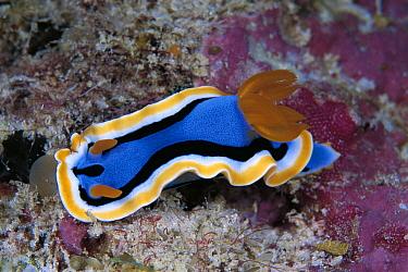 Ann's Chromodorid Nudibranch (Chromodoris annae), Celebes Sea  -  Hiroya Minakuchi