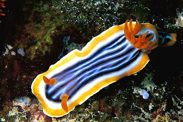 Magnificent Chromodorid Nudibranch (Chromodoris magnifica), Celebes Sea  -  Hiroya Minakuchi