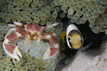 Spotted Anemone Crab (Neopetrolisthes maculatus) and Anemonefish (Amphiprion sp) in sea anemone host tentacles, Celebes Sea  -  Hiroya Minakuchi