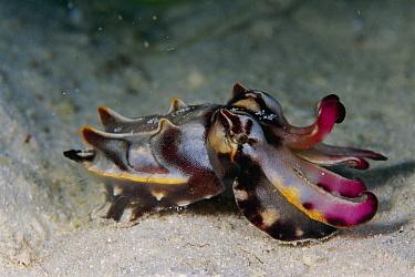 Flamboyant Cuttlefish (Metasepia pfefferi) male on ocean floor, Celebes Sea  -  Hiroya Minakuchi