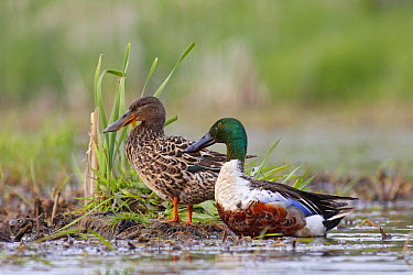 Northern Shoveler (Anas clypeata) female and male at nest site, Nova Scotia, Canada  -  Scott Leslie