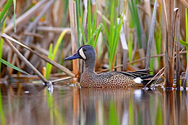 Blue-winged Teal (Anas discors) male in spring, Nova Scotia, Canada  -  Scott Leslie