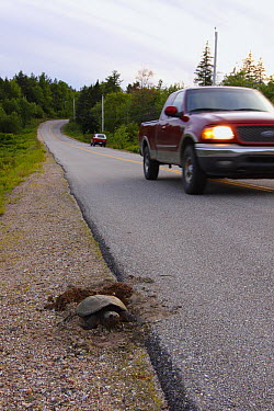 Snapping Turtle (Chelydra serpentina) laying eggs at side of highway, Nova Scotia, Canada  -  Scott Leslie