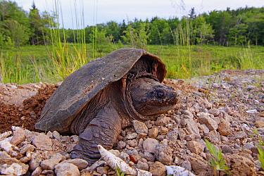 Snapping Turtle (Chelydra serpentina) laying eggs near wetland, Nova Scotia, Canada  -  Scott Leslie