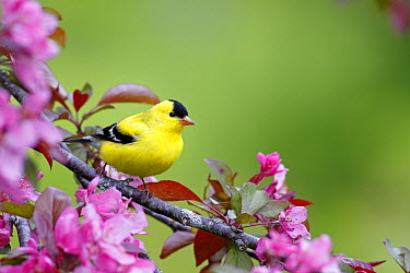 American Goldfinch (Carduelis tristis) male in cherry tree blossoms, Nova Scotia, Canada  -  Scott Leslie