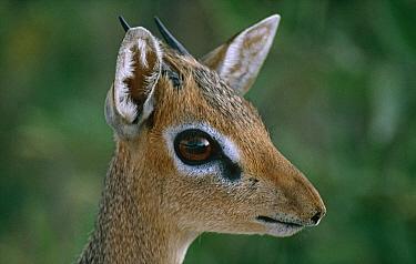 Kirk's Dik-dik (Madoqua kirkii) male, Etosha National Park, Namibia  -  Tony Heald/ npl