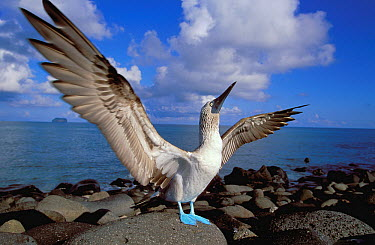 Blue-footed Booby (Sula nebouxii) spreading its wings, Galapagos Islands, Ecuador  -  Christophe Courteau/ npl