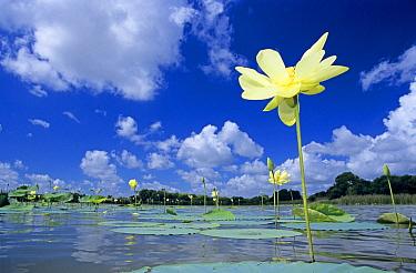 American Lotus (Nelumbo lutea) flower, Welder Wildlife Refuge, Texas  -  Rolf Nussbaumer/ npl