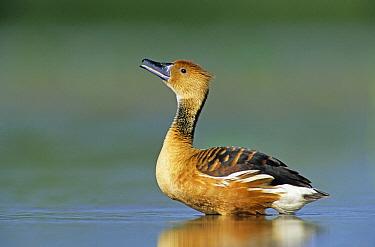 Fulvous Whistling Duck (Dendrocygna bicolor) calling, Welder Wildlife Refuge, Texas  -  Rolf Nussbaumer/ npl
