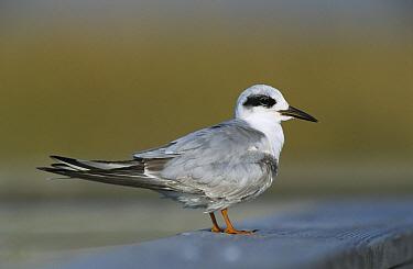 Forster's Tern (Sterna forsteri) in winter plumage, Texas  -  Rolf Nussbaumer/ npl