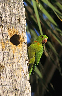 Green Parakeet (Aratinga holochlora) at nesting cavity in palm tree, Brownsville, Rio Grande Valley, Texas  -  Rolf Nussbaumer/ npl