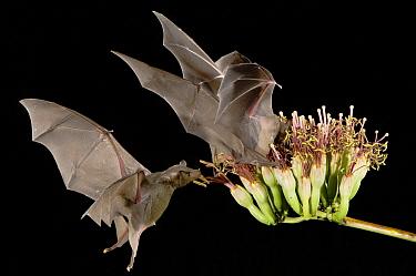 Southern Long-nosed Bat (Leptonycteris curasoae) pair feeding on Agave (Agave sp) flower, Tucson, Arizona  -  Rolf Nussbaumer/ npl