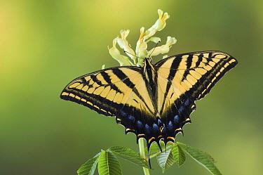 Two-tailed Swallowtail (Papilio multicaudata) butterfly on Ohio Buckeye (Aesculus glabra), Texas  -  Rolf Nussbaumer/ npl