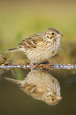 Vesper Sparrow (Pooecetes gramineus) reflected in pool, Texas  -  Rolf Nussbaumer/ npl