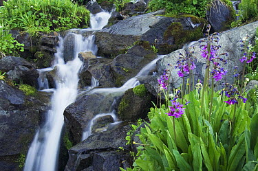 Parry's Primrose (Primula parryi) flowers and mountain stream, San Juan Mountains, Colorado  -  Rolf Nussbaumer/ npl