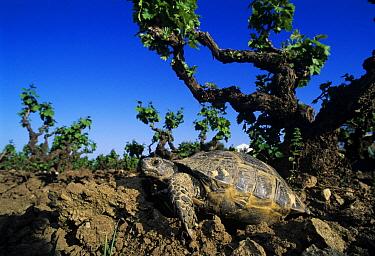Hermann's Tortoise (Testudo hermanni) in vineyard, Samos, Greece  -  Rolf Nussbaumer/ npl