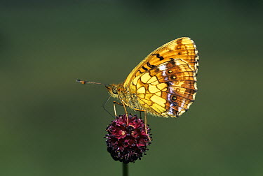 Weaver's Fritillary (Clossiana dia) butterfly on Great Burnet (Sanguisorba officinalis), Switzerland  -  Rolf Nussbaumer/ npl