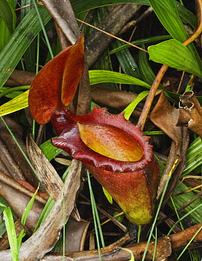 Kinabalu Pitcher Plant (Nepenthes kinabaluensis) flower, Sabah, Borneo, Malaysia  -  Tony Heald/ npl