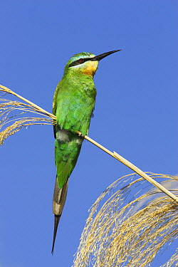 Blue-cheeked Bee Eater (Merops superciliosus) on reed, Chobe National Park, Botswana  -  Tony Heald/ npl