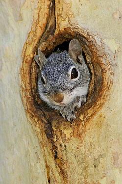 Arizona Gray Squirrel (Sciurus arizonensis) looking out of hole in tree, Arizona  -  Rolf Nussbaumer/ npl