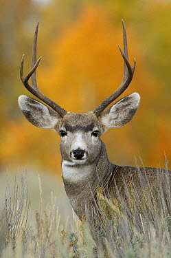 Mule Deer (Odocoileus hemionus) buck, Grand Teton National Park, Wyoming  -  Rolf Nussbaumer/ npl