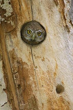 Northern Pygmy Owl (Glaucidium californicum) looking out of nest hole, Arizona  -  Rolf Nussbaumer/ npl