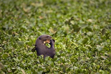 Giant River Otter (Pteronura brasiliensis) feeding amongst Common Water Hyacinth (Eichhornia crassipes), Pantanal, Mato Grosso, Brazil  -  Christophe Courteau/ npl