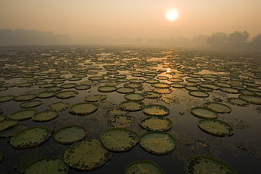 Amazon Water Lily (Victoria amazonica) pads at dawn, Pantanal, Brazil  -  Christophe Courteau/ npl