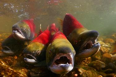 Sockeye Salmon (Oncorhynchus nerka) group migrating upstream to spawn, Adams River, British Columbia, Canada  -  Michel Roggo/ npl