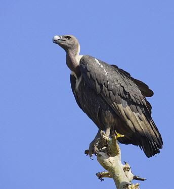 White-rumped Vulture (Gyps bengalensis), Madhya Pradesh, India  -  Tony Heald/ npl