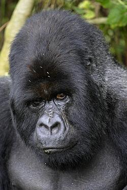 Mountain Gorilla (Gorilla gorilla beringei) male silverback portrait, Volcanoes National Park, Rwanda  -  Christophe Courteau/ npl