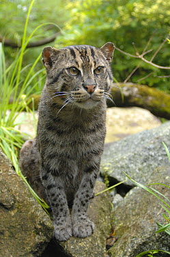 Fishing Cat (Prionailurus viverrinus) on rocks, native to India and Asia  -  Eric Baccega/ npl
