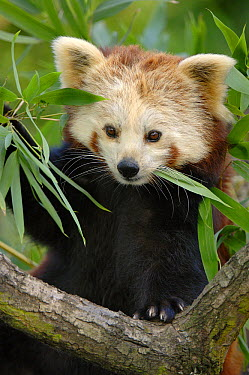 Lesser Panda (Ailurus fulgens) feeding on bamboo leaves, native to China  -  Eric Baccega/ npl