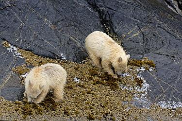 Kermode Bear (Ursus americanus kermodei), white morph called spirit bear, cubs looking for mussels on the shores of Princess Royal Island, British Columbia, Canada  -  Eric Baccega/ npl