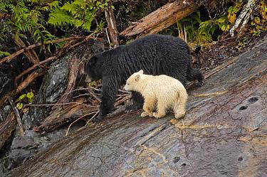 Kermode Bear (Ursus americanus kermodei), mother with her white morph cub called spirit bear, Princess Royal Island, British Columbia, Canada  -  Eric Baccega/ npl