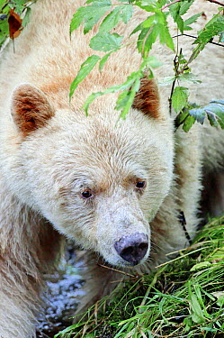 Kermode Bear (Ursus americanus kermodei), white morph called spirit bear, Princess Royal Island, British Columbia, Canada  -  Eric Baccega/ npl