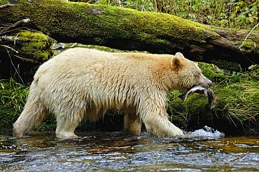 Kermode Bear (Ursus americanus kermodei), white morph called spirit bear salmon fishing, Princess Royal Island, British Columbia, Canada  -  Eric Baccega/ npl