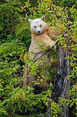 Kermode Bear (Ursus americanus kermodei), white morph called spirit bear in tree Princess Royal Island, British Columbia, Canada  -  Eric Baccega/ npl
