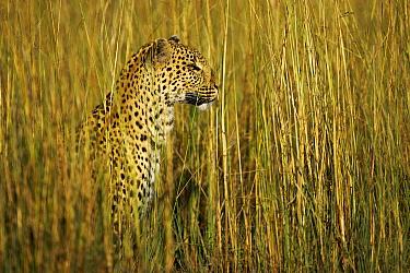 Leopard (Panthera pardus) female in tall grass, Okavango Delta, Botswana  -  Christophe Courteau/ npl