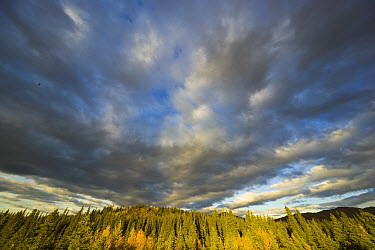 Black Spruce (Picea mariana) trees and cumulus clouds in autumn, Denali National Park, Alaska  -  Yva Momatiuk & John Eastcott